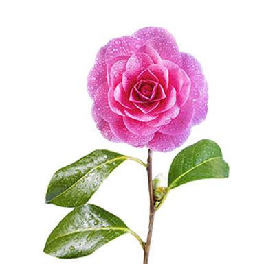camellia seed oil